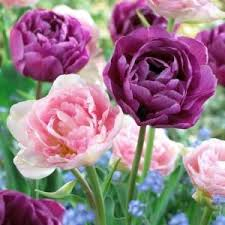58 best tulips images on tulips flowers bulbs