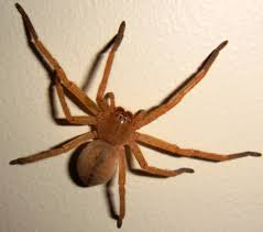 Huntsman Spiders At Spiderzrule - The Best Site In The World About ... Spiders At Spiderzrule The Best Site In World About Spiders Barn Funnel Weaver Spider North American Insects Bug Eric Thinlegged Wolf Genus Pardosa Grass How To Tell If A Spider Is Not Brown Recluse Spiderbytes