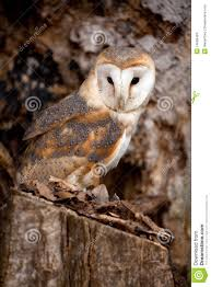 Barn Owl Sitting In Tree Stock Photo. Image Of Feathers - 14099484 Barn Owl Perching On A Tree Stump Facing Forward Stock Photo The Owls Of Australia Australian Geographic Audubon Field Guide Beautiful Perched 275234486 Barred Owl Vs Barn Hollybeth Organics Luxury Skin Care Why You Want Buddies Coast News Group Sleeping By Day Picture And Sitting Venezuela 77669470 Shutterstock Rescue Building Awareness Providing Escapes And Photography Owls Owlets At Charlecote Park Barnaby The Ohio Wildlife Center