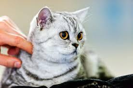 my cat has dandruff cat dandruff petcha