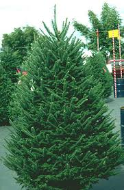Fraser Christmas Trees Uk the christmas tree traditions production and disease