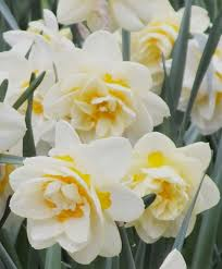15 best daffodils to consider images on daffodils