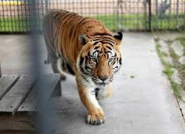 After 14 Years In Captivity, Tony The Truck Stop Tiger May Remain A ...