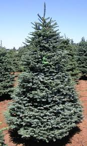 Neuman Christmas Tree Retailers by Wholesale Christmas Trees Silver Bells Christmas Tree Farm