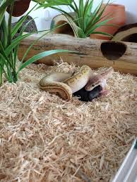 Ball Python Shedding Eating by Ball Python Care Sheet Cj Royals