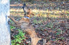 Black Mouth Cur Shed Hunting by Benson U0027s