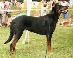 Low Shedding Big Dogs by The 25 Best Guard Dogs Guard Dog Breeds For Families