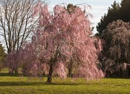 Aspirin For Christmas Tree Life by 76 Best Trees Weeping Willow Images On Pinterest Weeping