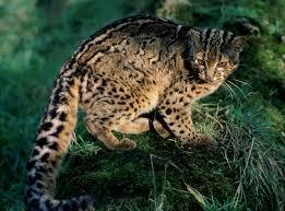 mountain cat andean mountain cat facts cat s habitat diet distribution