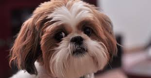 Hypoallergenic Dog Breeds That Dont Shed by Did You Know These 10 Hypoallergenic Dog Breeds U2013 Freekibble