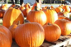 Connecticut Field Pumpkin For Pies by Field Guide To Growing Pumpkins U2014 B B Barns Garden Center