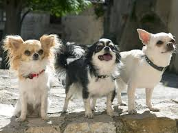 Non Shedding Small Dogs Australia by Dog Breeds That Live The Longest Business Insider