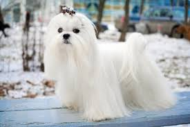 House Dogs That Dont Shed by 16 Best House Dogs That Dont Shed 15 Dog Breeds That Don T
