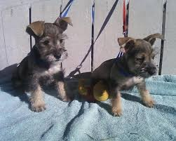 Do Long Haired Chiweenies Shed by Chizer Chihuahua X Miniature Schnauzer Mix Temperament Puppies