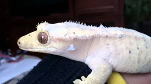 Crested Gecko Shed Stuck On Eye by Crested Gecko Just Before Shedding Youtube