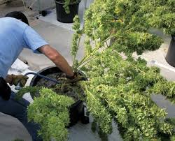 recolte cannabis exterieur date quand et comment récolter plants de marijuana en exterieur