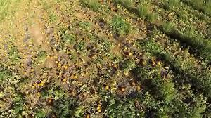 Kent City Pumpkin Patch by Aerial Views Of Pumpkin Patch Near Burnsville Nc Youtube