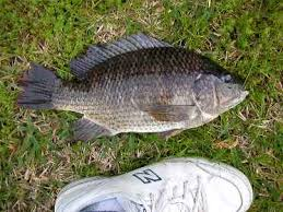 Picture Of A Blue Tilapia