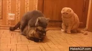 cats mating cats mating timothy vs emil and muffy on make a gif