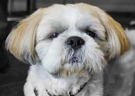 Shih Tzu Information Dog Breeds at dogthelove