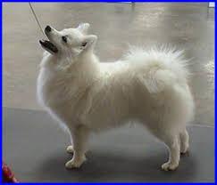 Toy American Eskimo Dog Shedding by Index