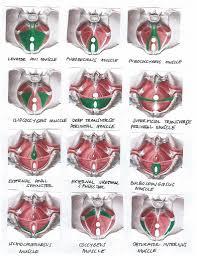 Dresser Masoneilan Avon Ma by 100 Pelvic Floor Muscles Anatomy Fact Sheets And Downloads