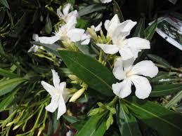 nerium oleander blanc laurier blanc pot 2 5l jardiplante