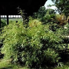 entretien des bambous en pot bambou conseils de plantation taille et entretien
