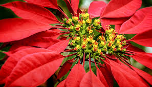 Types Of Christmas Trees To Plant by Stars Of The Solstice U2013 Zoonooz