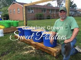 HD How To Grow Sweet Potatoes In Containers - Subscription FREE ... Texas Garden The Fervent Gardener How Many Potatoes Per Plant Having A Good Harvest Dec 2017 To Grow Your Own Backyard 17 Best Images About Big Green Egg On Pinterest Pork Grilled Red Party Tuned Up Want Organic In Just 35 Vegan Mashed Potatoes Triple Mash Mashed Pumpkin Cinnamon Bacon Sweet Gardening Seminole Pumpkins And Sweet From My Backyard Potato Salad Recipe Taste Of Home