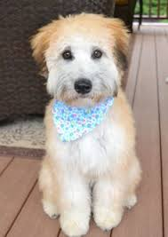 wheaten terrier poodle whoodle can you imagine how much fun