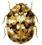 Carpet Weevil Pictures by Carpet Beetles How To Kill And Get Rid Of Carpet Beetles