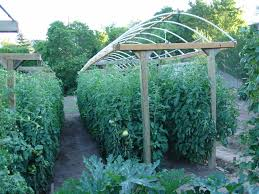 Here Is A Great Way To Grow Lot Of Tomatoes In Small Area