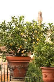 zitronenbaum überwintern so kommt er gut durch den winter