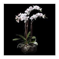 orchidees en pot dans divers achetez au meilleur prix avec