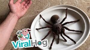 100 Tarantula Trucks Goliath The Giant ViralHog YouTube