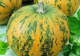 Varieties Of Pumpkins by Pumpkins Planting Growing And Harvesting Pumpkin Plants The