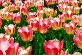 tulipa tequila darwin hybrid tulip
