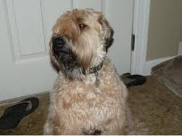 Do Wheaten Terrier Puppies Shed by Shedding Light Not Hair