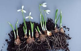 bulb planting in the fall