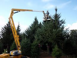 Canaan Fir Good Christmas Tree by Asack U0026 Son Christmas Tree Farm U0026 Christmas Tree Seedlings And