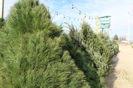 Canaan Fir Good Christmas Tree by How To Pick The Perfect Christmas Tree