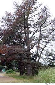 Christmas Tree Recycling Carmel Valley San Diego by Christmas Trees May Carry Pitch Canker Sfgate