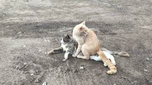 cats mating cats mating pets outdoors stock footage videoblocks