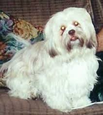 My Lhasa Apso Is Shedding Hair by Lhasa Apso Dog Breed Information And Pictures