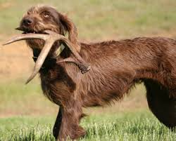 Best Hunting Dogs That Dont Shed by Keeper