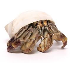 Do Hermit Crabs Shed by Hermit Crabs For Sale Enfield Produce