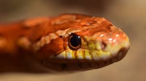 Corn Snake Shedding Too Often by Feeding Corn Snakes Keeping Exotic Pets