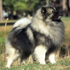 Dogs That Dont Shed Keeshond by 20 Best Keeshond Love Images On Pinterest