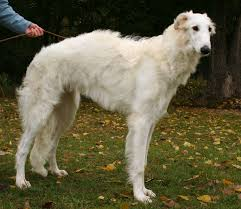 Why Is My Italian Greyhound Shedding by Borzoi Wikipedia